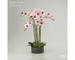 Pianta Orchidea Phalaenopsis Real in Vaso H 70 213684.58