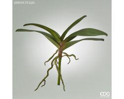 Foglia Orchidea con Radici 230919