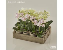 Piantina Orchidea Phalaenopsis in vaso 216105.95