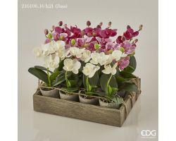 Piantina Orchidea Phalaenopsis in vaso 216106.16