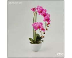 Piantina Orchidea Phalaenopsis Real in Vaso H 50 213683.59